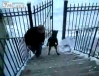 Dog walks upright to climb stairs